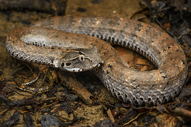 Smooth-scaled Death Adder (Acanthophis laevis), Nimbokrang, New Guinea, Indonesia