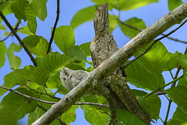 Papuan Frogmouth (Podargus papuensis) parent and chick camouflaged on branch, Nimbokrang, New Guinea, Indonesia