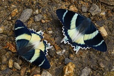 Moth (Alcidis aruus) pair at mineral lick, Arfak Mountains, New Guinea, Indonesia