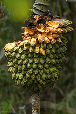 Banana (Musa ingens) fruit, Arfak Mountains, New Guinea, Indonesia