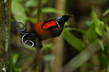 Wilson's Bird-of-paradise (Cicinnurus respublica) male, Waigeo, New Guinea, Indonesia