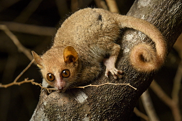 Gray Mouse Lemur (Microcebus murinus), Kirindy Forest, Morondava, Madagascar