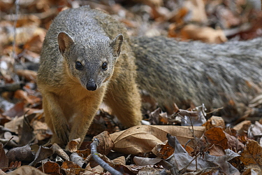 Malagasy Narrow-striped Mongoose (Mungotictis decemlineata), Kirindy Forest, Morondava, Madagascar