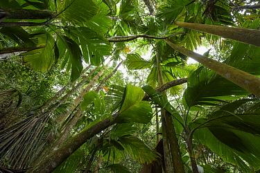 Seychelles Stilt Palm (Verschaffeltia splendida) grove, Mount Copolia, Seychelles