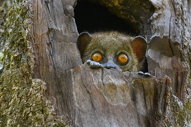 Light-necked Sportive Lemur (Lepilemur microdon) in tree, Ranomafana National Park, Madagascar
