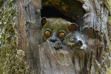Light-necked Sportive Lemur (Lepilemur microdon) mother with juvenile, Ranomafana National Park, Madagascar