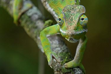 Baudrier's Chameleon (Furcifer balteatus) female, Ranomafana National Park, Madagascar