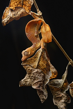 Fantastic Leaf-tail Gecko (Uroplatus phantasticus) female mimicking wilting leaf, Ranomafana National Park, Madagascar