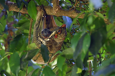 Sunda Flying Lemur (Galeopterus variegatus) mother with young, Bako National Park, Sarawak, Borneo, Malaysia