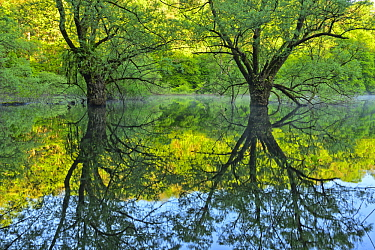 Willow (Salix sp) trees reflected on Lake Bret, Bugey, France