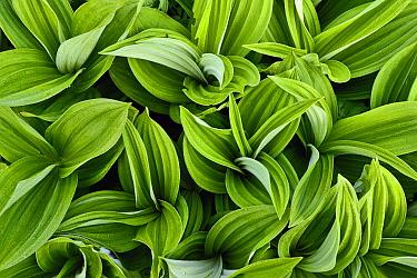 Green False Hellebore (Veratrum viride), Alps, France