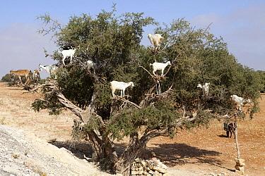 Domestic Goat (Capra hircus) herd browsing on fruit in Argan tree, Haha Haouz, Morocco