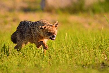 Golden Jackal (Canis aureus) in aggressive display, Romania