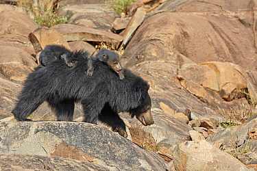 Sloth Bear (Melursus ursinus) mother carrying cubs, Sandur Mountain Range, India