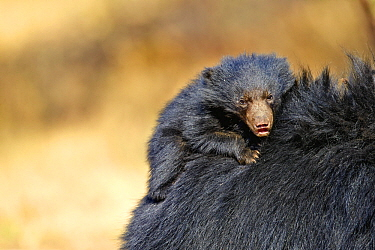 Sloth Bear (Melursus ursinus) mother carrying cub, Sandur Mountain Range, India