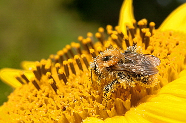 Brown Bumblebee (Bombus pascuorum) covered with Sunflower (Helianthus sp) pollen, France