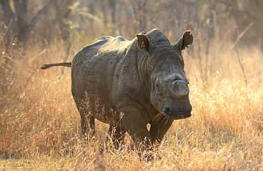 White Rhinoceros (Ceratotherium simum) with cut horn to save it from poaching, Matabos Hills National Park, Zimbabwe