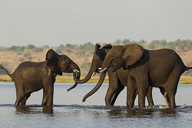 African Elephant (Loxodonta africana) trio playing in river, Chobe River, Chobe National Park, Botswana