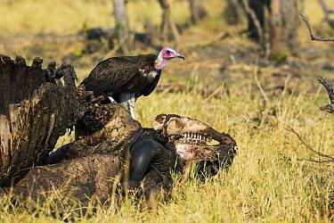 Hooded Vulture (Necrosyrtes monachus) feeding on Cape Buffalo (Syncerus caffer) carcass, Botswana