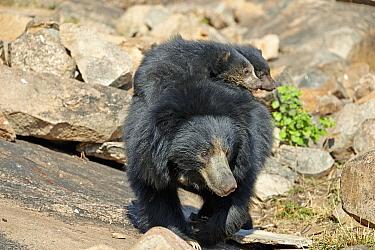 Sloth Bear (Melursus ursinus) mother carrying cubs, Sandur Mountain, India
