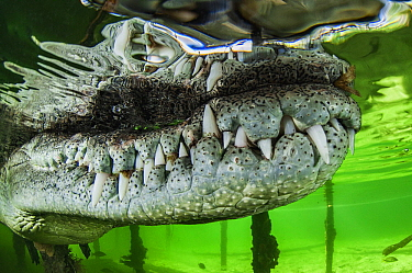 American Crocodile (Crocodylus acutus) snout and teeth, Gardens of the Queen, Cuba