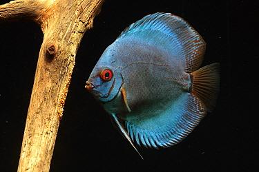 Blue Discus (Symphysodon aequifasciatus) female aerating eggs, native to Amazon