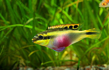 Kribensis Cichlid (Pelmatochromis kribensis) pregnant female, native to Africa