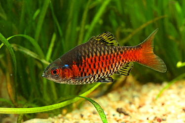 Ticto Barb (Puntius ticto) male, native to Middle East and Asia
