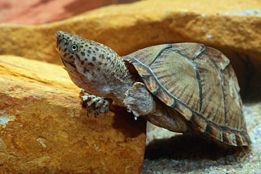 Razor-backed Musk Turtle (Sternotherus carinatus), native to North America