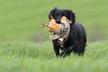 Cocker Spaniel (Canis familiaris) carrying hunted Red-legged Partridge (Alectoris rufa), Europe