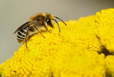 Plasterer Bee (Colletes daviesanus) on Tansy (Tanacetum vulgare), Northern Vosges Regional Nature Park, France
