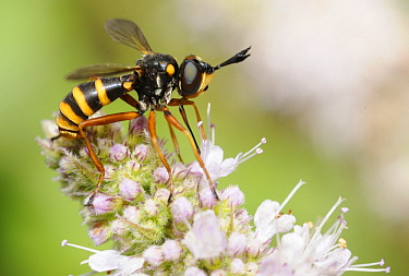 Thick-headed Fly (Conops quadrifasciatus), Northern Vosges Regional Nature Park, France