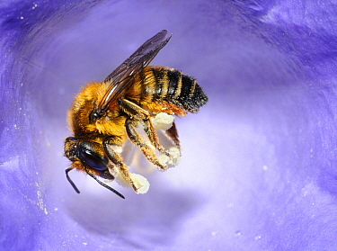 Leaf-cutter Bee (Megachile willughbiella) female collecting pollen from Bluebell (Campanula sp.), Alps, Europe