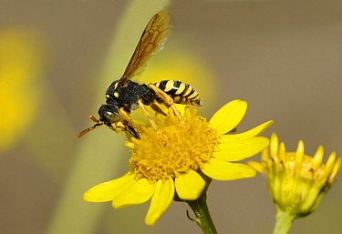 Gooden's Nomad Bee (Nomada goodeniana) on Fleabane (Pulicaria dysenterica), Northern Vosges Regional Nature Park, France
