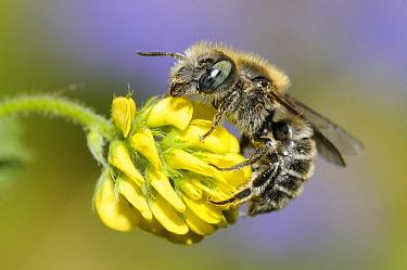 Mason Bee (Osmia sp) on clover flower, Northern Vosges Regional Nature Park, France