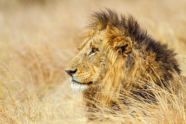 African Lion (Panthera leo) male, Kruger National Park, South Africa