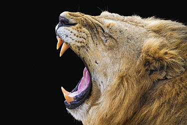 African Lion (Panthera leo) male yawning, Kruger National Park, South Africa
