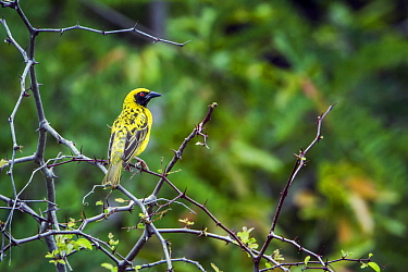 Village Weaver (Ploceus cucullatus), Kruger National Park, South Africa
