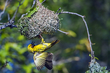 Village Weaver (Ploceus cucullatus) at nest, Kruger National Park, South Africa