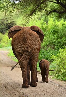 African Elephant (Loxodonta africana) mother and calf on road, Manyara National Park, Tanzania