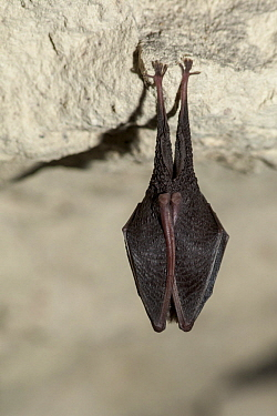 Lesser Horseshoe Bat (Rhinolophus hipposideros) roosting, France