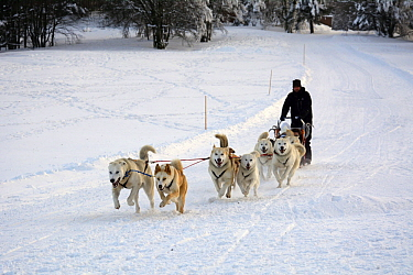 Siberian Husky (Canis familiaris) group pulling sled, Vosges, France