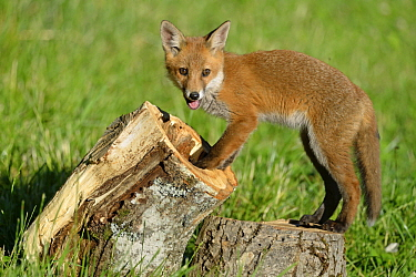 Red Fox (Vulpes vulpes) kit, France