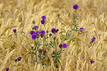 Wheat (Triticum sp) field with flowers, France