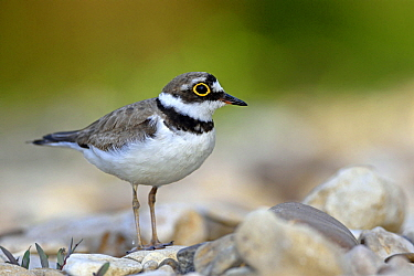 Little Ringed Plover (Charadrius dubius), France