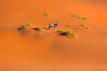 South African Oryx (Oryx gazella gazella) in desert, Namib Desert, Namibia