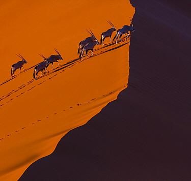 South African Oryx (Oryx gazella gazella) herd climbing sand dune, Namib Desert, Namibia