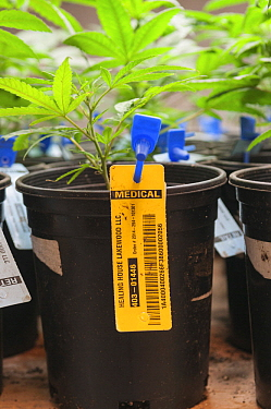 Marijuana (Cannabis sativa) plants labeled at commerical grow, Denver, Colorado