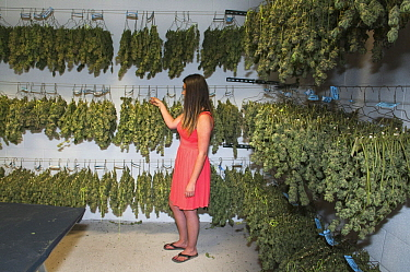 Marijuana (Cannabis sativa) being dried and cured at commerical grow, Colorado