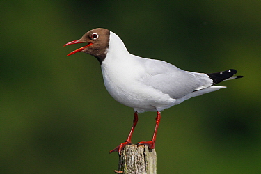 Black-headed Gull (Larus ridibundus) calling from post, France